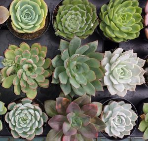 succulent oasis assortment