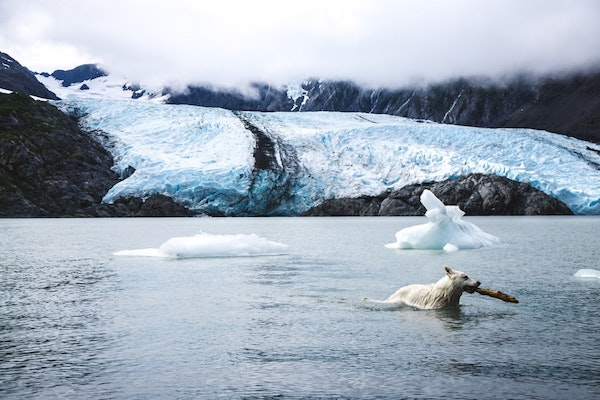 polar bear swimming in cold water